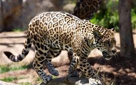 预览壁纸 猎豹,捕食者,动物园