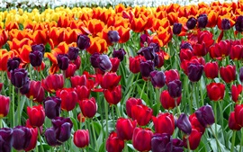 Preview wallpaper Colorful tulips, flowers field