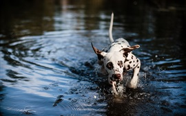 Preview wallpaper Cute spotted dog in the water