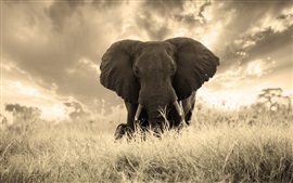 Elephant photography, grass, nature