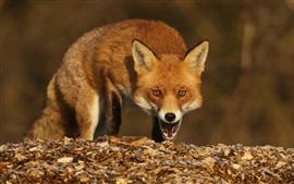 Fox olha para você, rosto, olhos, boca