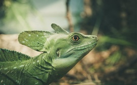 Preview wallpaper Green lizard, reptile