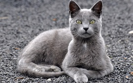 Grey cat, yellow eyes, sit and rest
