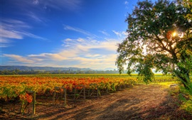 Healdsburg, grape plantation, tree, farmland, sun rays, California, USA