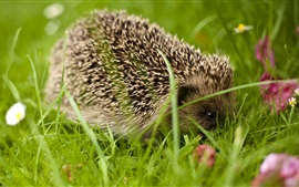 Hedgehog close-up, grama