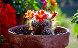 Home plants, cactus red flowers bloom