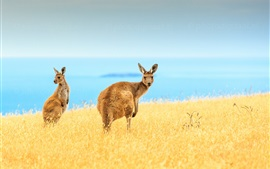 Preview wallpaper Kangaroo close-up, wildlife, yellow grass