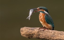 Preview wallpaper Kingfisher catch a fish, birds photography