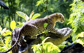Preview wallpaper Leopard, predator, leaves