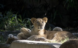 Preview wallpaper Lion cubs, wild cats