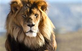 Leão face, cabeça, olhar, predador
