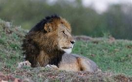 León mira hacia atrás