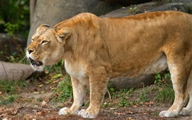 Preview wallpaper Lioness growls, animals photography