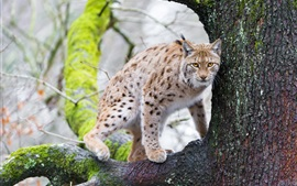 Preview wallpaper Lynx, tree, animals photography