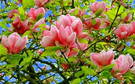Magnolia, pink flowers, tree, leaves