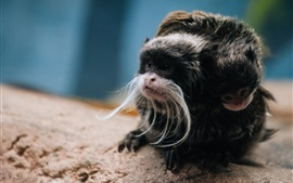 Monkey photography, Emperor Tamarin
