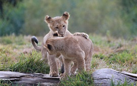 One pair lion cubs play games