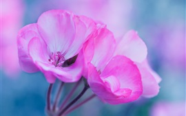 Preview wallpaper Pink flowers macro photography, petals, inflorescence
