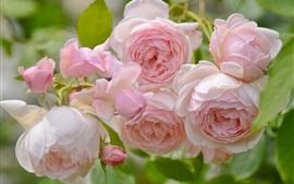 미리보기 배경 화면 핑크 장미 꽃, 봄