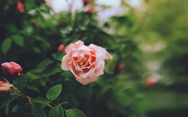 Pink rose, garden, blurry background