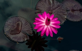 Pink water lily, beautiful flower, water droplets, pond, leaves
