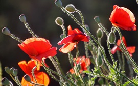 Poppies, red petals, stem