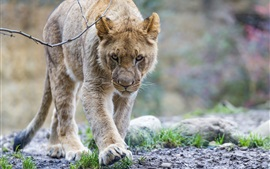 Predator, young lion walk