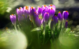 Preview wallpaper Purple crocuses, green leaves, blurry