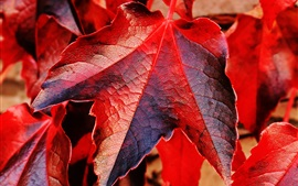 Preview wallpaper Red maple leaves macro photography, autumn theme