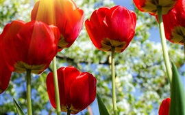 Red tulips, flowers, sun rays
