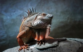 Preview wallpaper Reptile photography, iguana close-up, scales