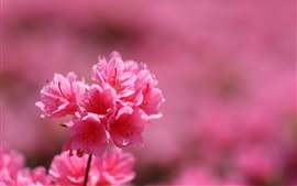 Preview wallpaper Rhododendron, inflorescence, pink petals, spring