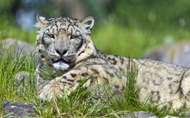 Preview wallpaper Snow leopard, grass, rest
