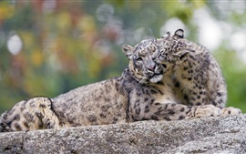 Preview wallpaper Snow leopard, mother and cub, play game