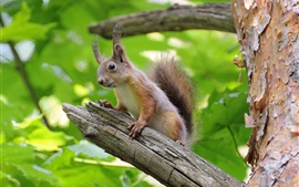 Preview wallpaper Squirrel, tree branches, green leaves