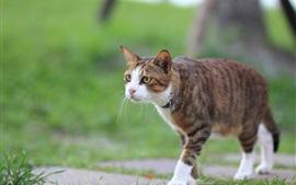 Aperçu fond d'écran Été, chat, marche
