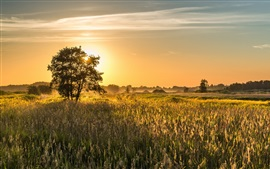 Summer field, trees, sunrise, morning