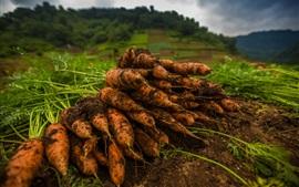 预览壁纸 蔬菜,胡萝卜