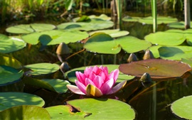 Water lily, lotus, pink flower, leaves, pond