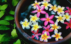 White and pink plumeria flowers in the water