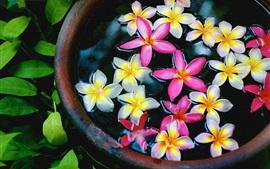 미리보기 배경 화면 흰색과 핑크색 plumeria 꽃 물 속에서