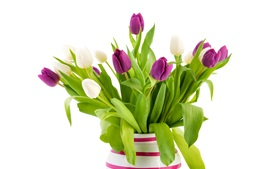 White and purple tulip flowers, vase
