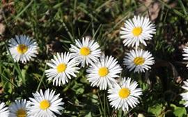 Flores de margaritas blancas, hierba, verano