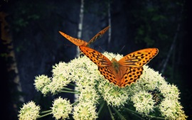 Preview wallpaper White flowers, butterfly, insect
