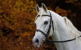 Cavalo branco, cabeça, juba