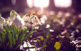 Preview wallpaper White snowdrops, flowers, glare