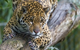 Preview wallpaper Wild cat, jaguar, rest, tree