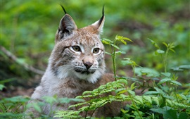Wild cat, lynx, face, grass
