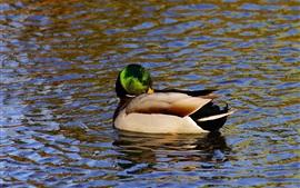Wild duck, water