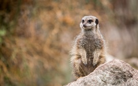 Preview wallpaper Wildlife, meerkat standing to look